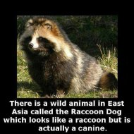 15-09-raccoon-dog