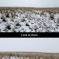 sheep-camoulflage