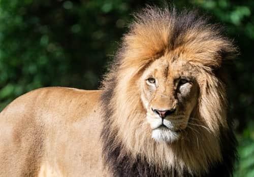 Lion-Images-Dp-Pics (10)