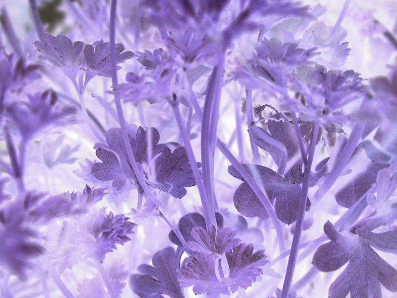 Free Stock Photo: Close up on negative exposure of parsley plant leaves and stems in purple with copy space