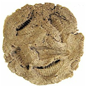 Image of Make A Dinosaur Fossil