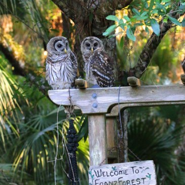 Barred Owls – Symbols of Power and Protection