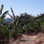 banana trees square