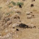 Sheep Visitor at Ban Qala
