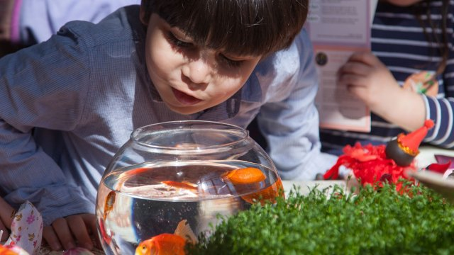 Child looks at Goldfish at Nowruz celebration