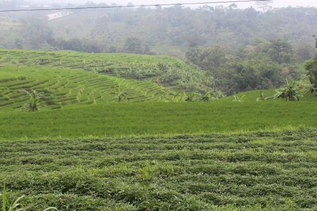 Paddy fields between Candi Jawi and Candi Jolotundo, Mt. Penanggungan, East Java