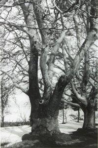 Chinar trees