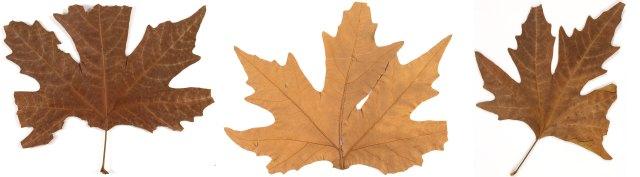 Chinar leaves