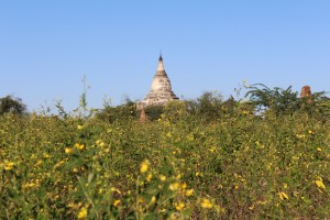 White stupa tower seen through a field of yellow flowers
