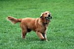 Free Stock Photo: A Golden Retriever dog fetching a tennis ball.