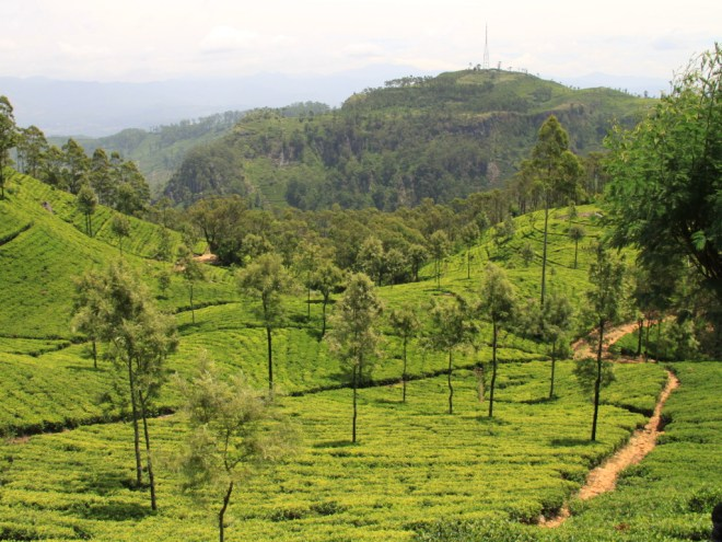 Photo of tea plantations