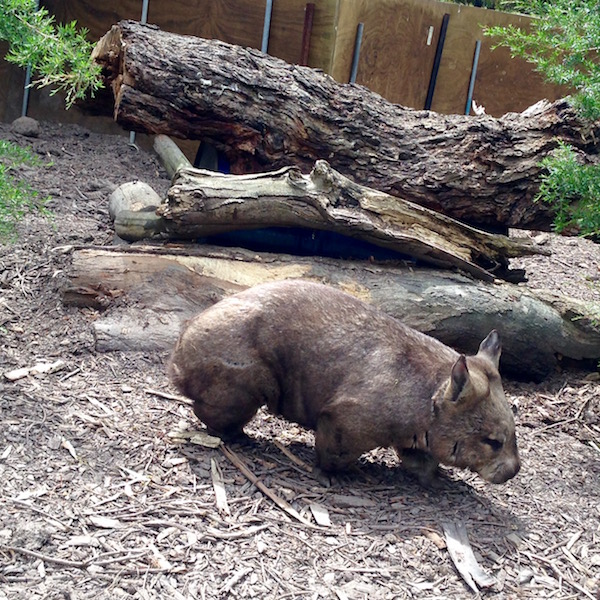 Wombat at Moonlit Sanctuary