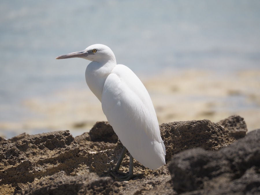 An Eastern Reef Heron.
