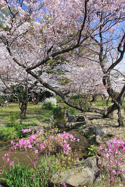 Beautiful cherry blossoms.