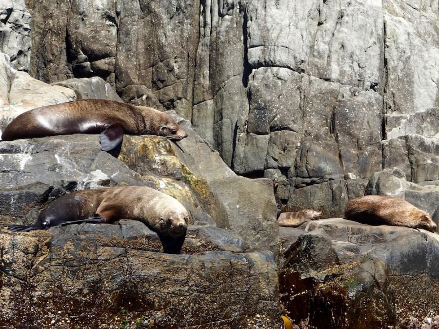 The friendly seals on Tasman Island.
