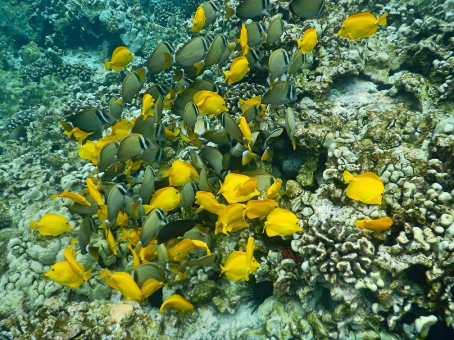 A school of Yellow Tang.
