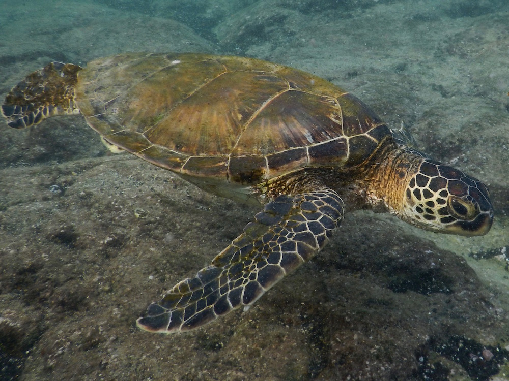 An Hawaiian sea turtle (Honu).