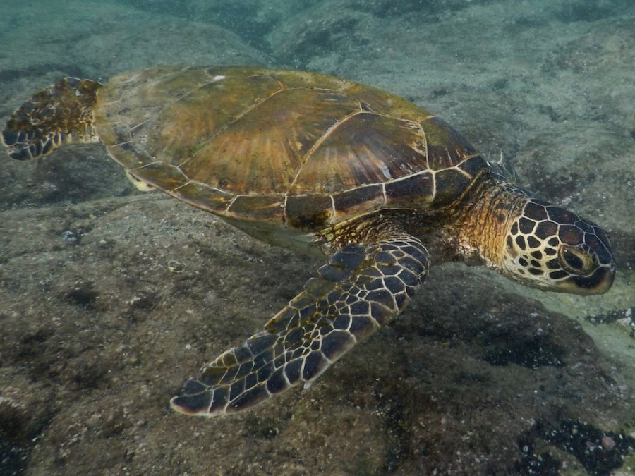 An Hawaiian sea turtle (Honu).