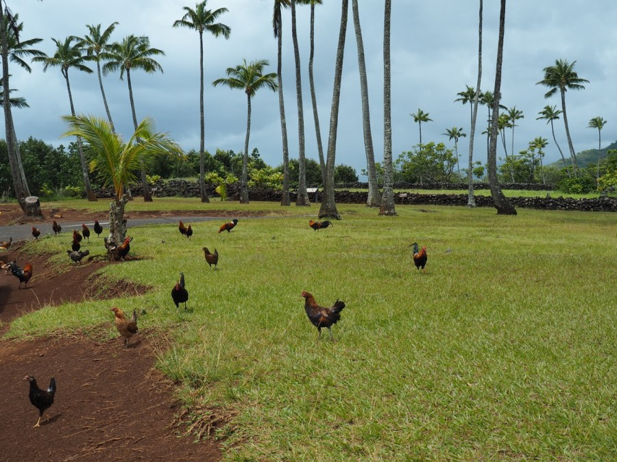 Kauai, a chicken haven.