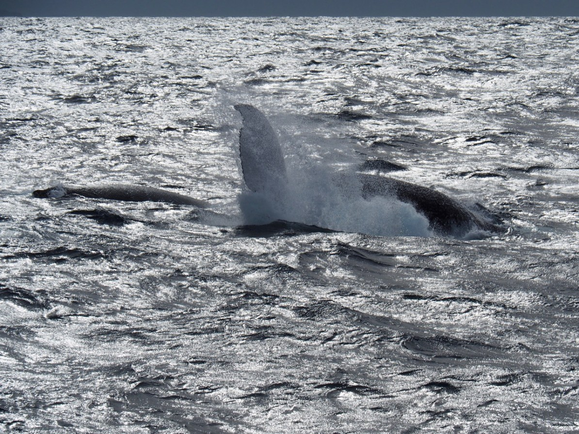 A humpback whale playing around in the harbour.