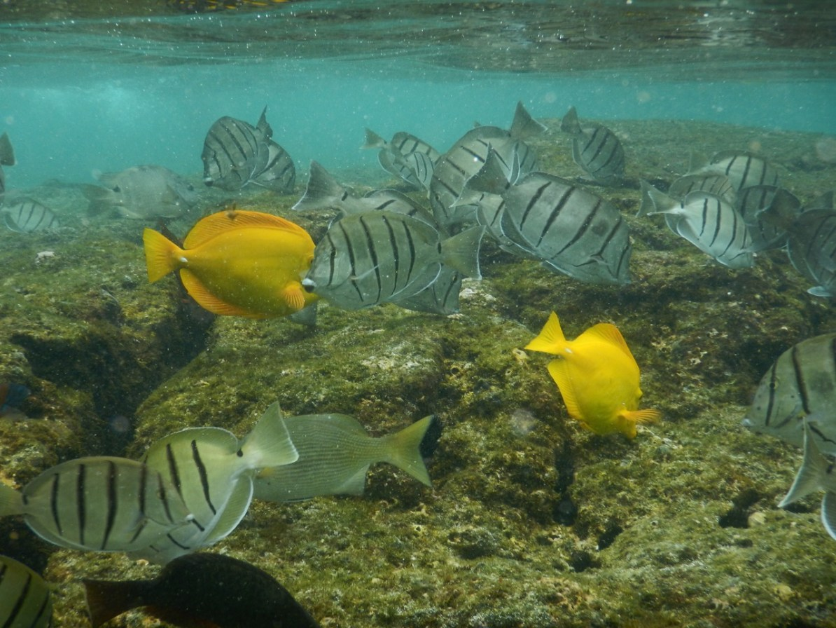 A school of Convict and Yellow Tangs at Kahaluu Beach Park.