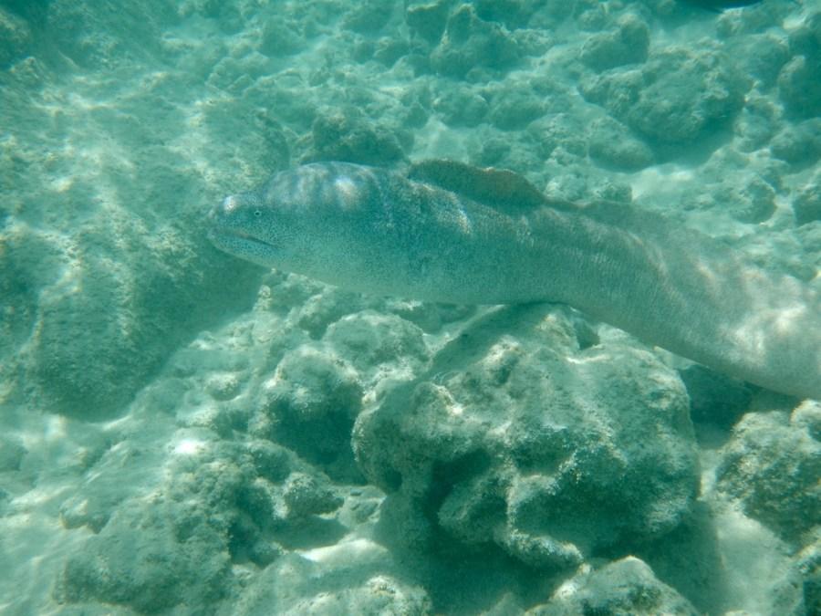 A Moray Eel at Honauma Bay.