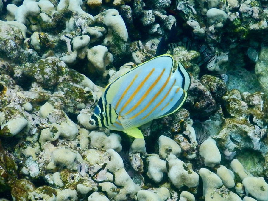 An Ornate Butterflyfish.