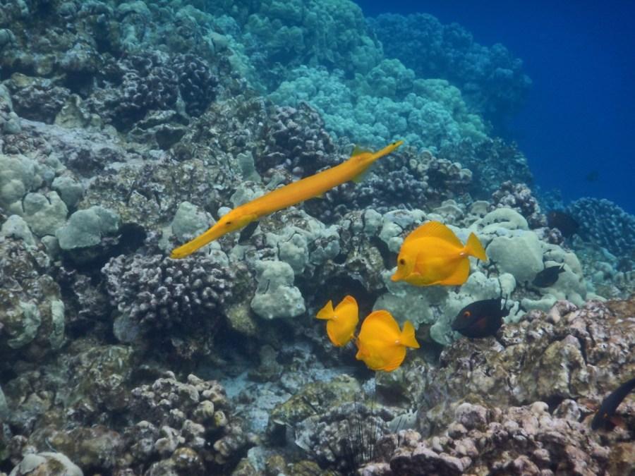 A Yellow Trumpetfish at Kealakekua Bay.