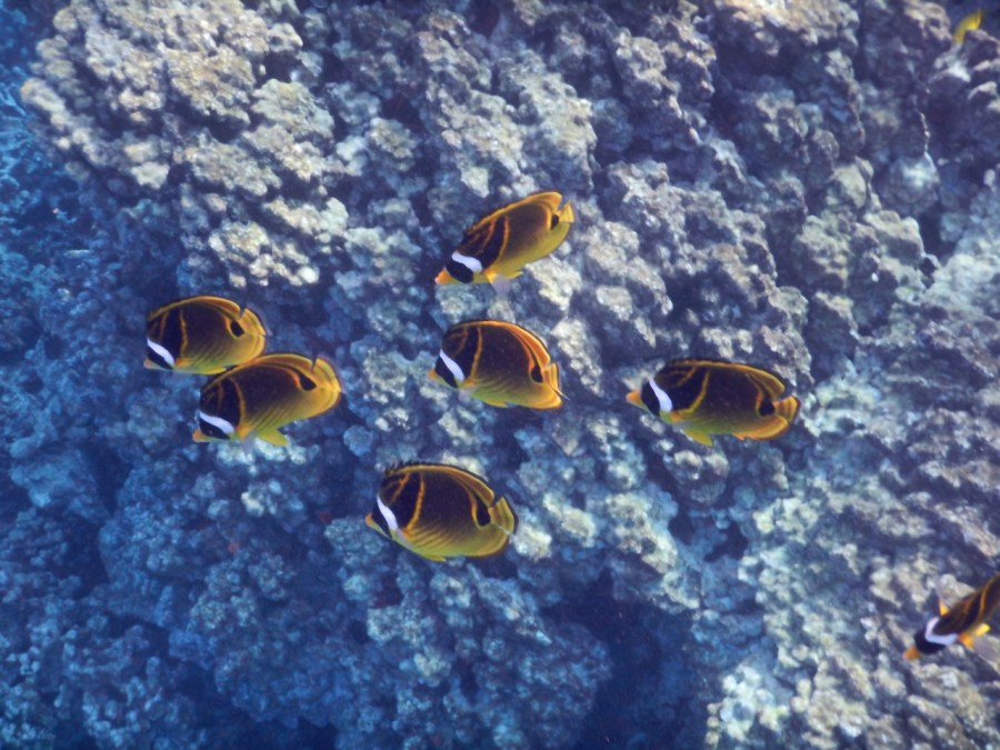 Raccoon Butterflyfish at Lawaii Beach.