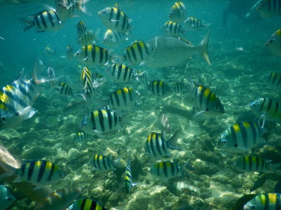 A school of Sergeant Major fish, Poipu Beach.