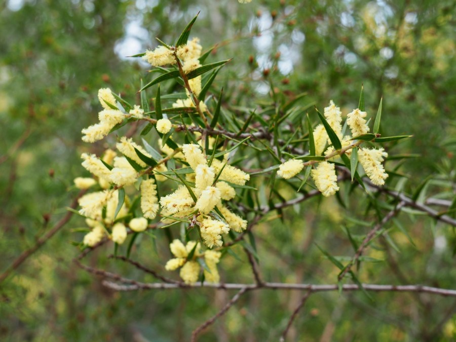 Some wattle in bloom.