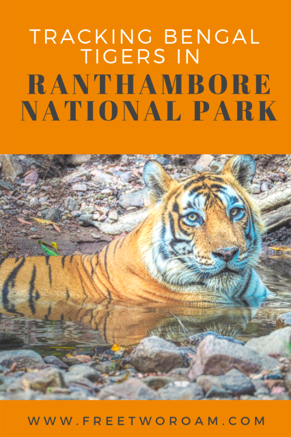 The Thrill of Tracking Bengal tigers in Ranthambore National Park