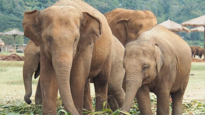 Baby elephant and nanny