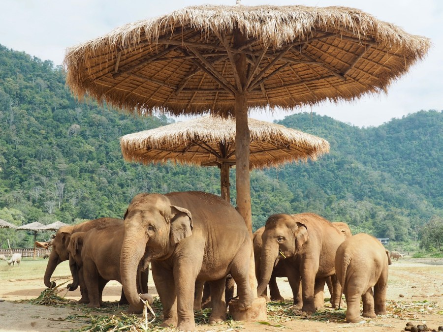 A group of elephants at the Elephant Nature Park