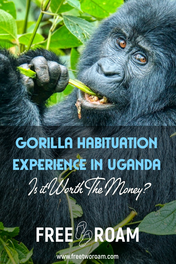Is the Gorilla Habituation Experience In Uganda Worth the Money?