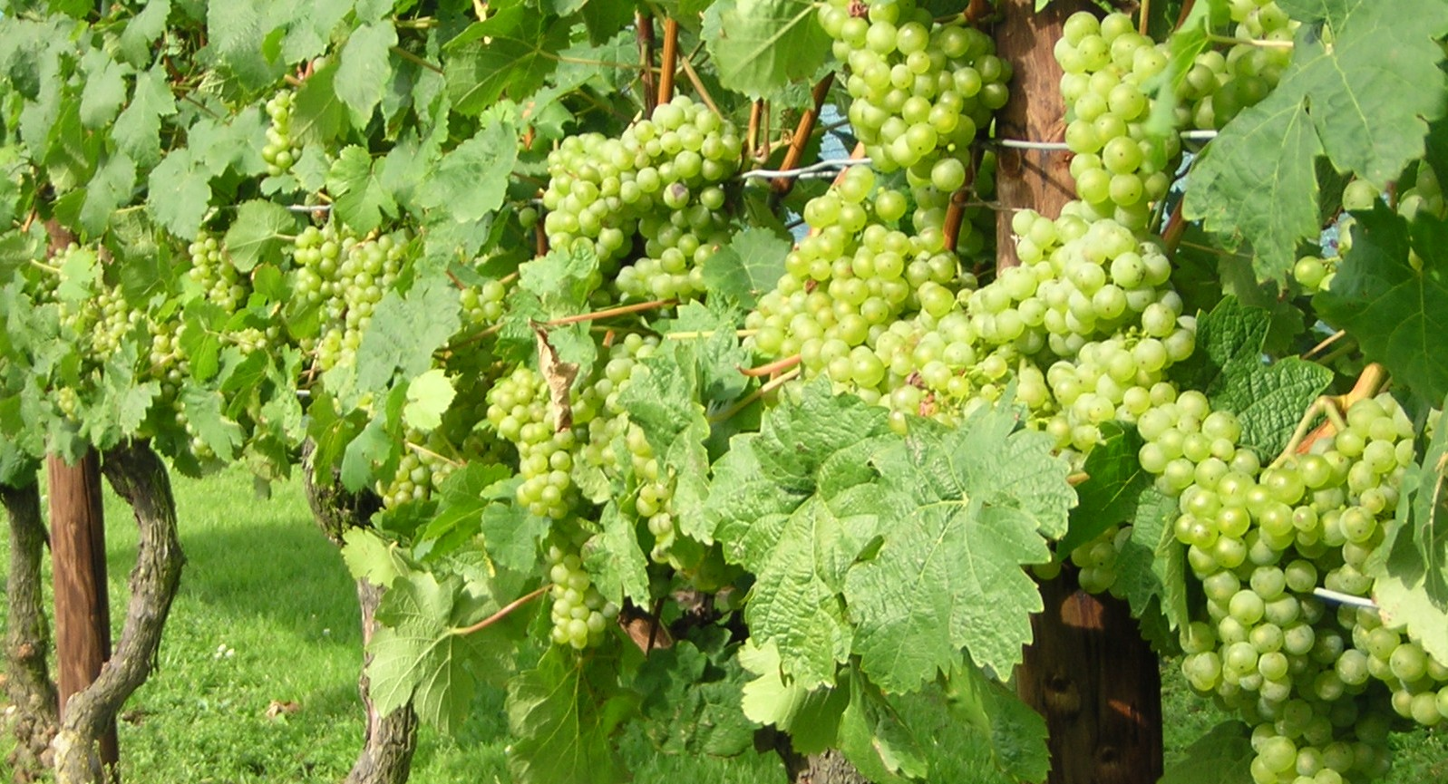 Afbeeldingsresultaat voor druif plant