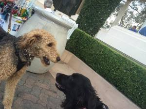 Aria and her buddy Dietrich the Airedale