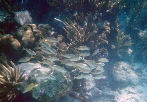Small school of yellowish fish at the Belize Barrier Reef near Punta Maroma, Mexico.