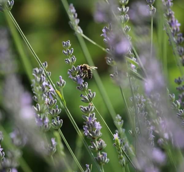 Biene im Lavendelstrauch