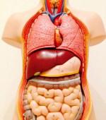 Anatomie-Kurs: Grundlagen der Anatomie des Menschen im Umfang von 20 UE