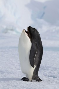 Evolution Pinguin