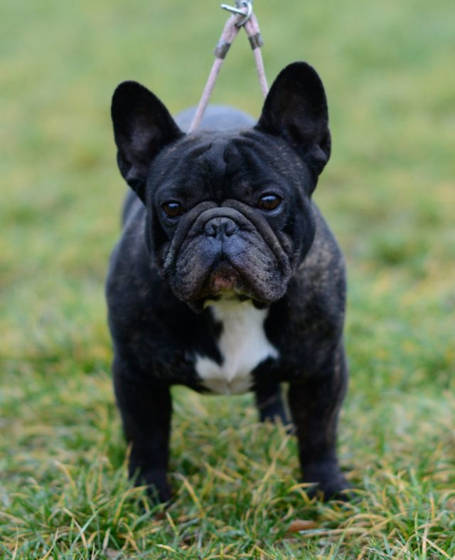 french bulldog shedding - this is the solution - french