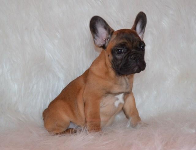 red french bulldog - goldenacresdogs