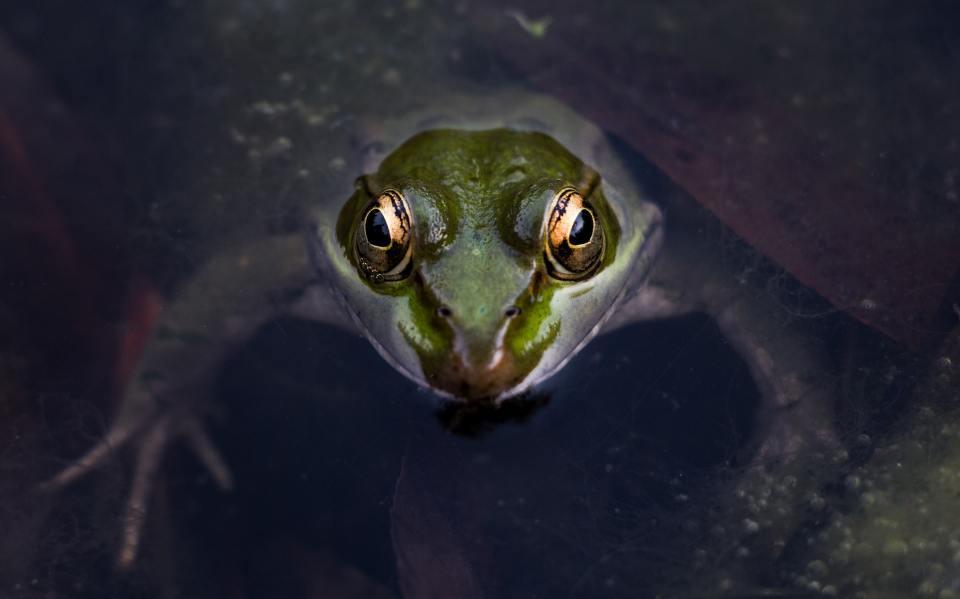 Frogs-legs