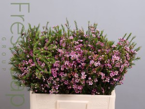 MB Violet Waxflowers growers, exporter & producer