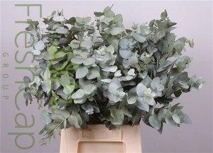 Eucalyptus Cinerea pennygum grower, exporter & producer