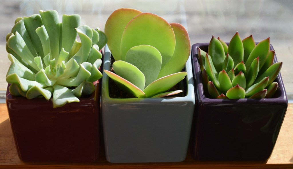 Succulents are easy to care for and a great option for a houseplant
