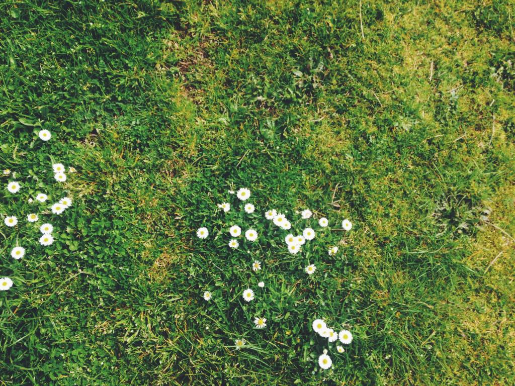 Daisies and moss growing on a lawn