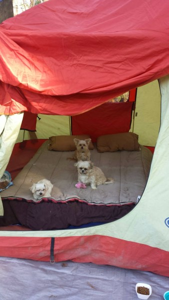 pup tent dogs camping in a tent