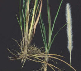 root, shoot, and flower of Cogon Grass.